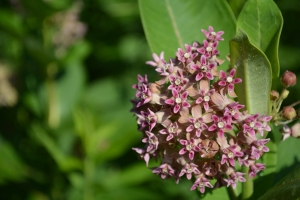 Milkweed Flower Summer stage of the transformation cycle